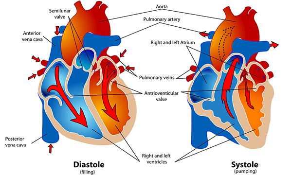 Herz_Anatomie